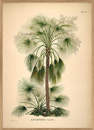 Affiche vintage Palmier Livistona Humilis Dybdhal | Marseille