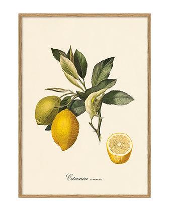 Affiche agrumes - Citron - Poster de fruits Marseille
