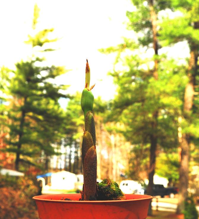 Devil's palm voodoo elephant-snake tongue potato-yam lily sprout...