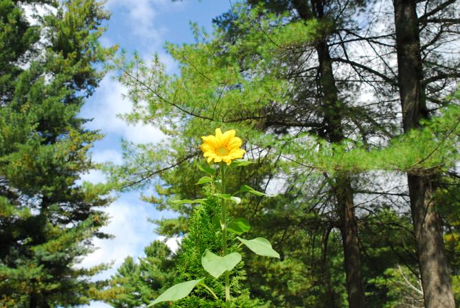 Sunflower Popped!