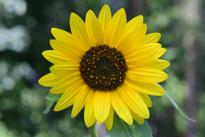 Flower of Sun!