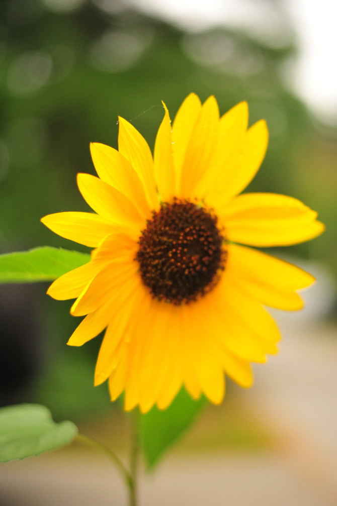 Sole Sunflower Survivor