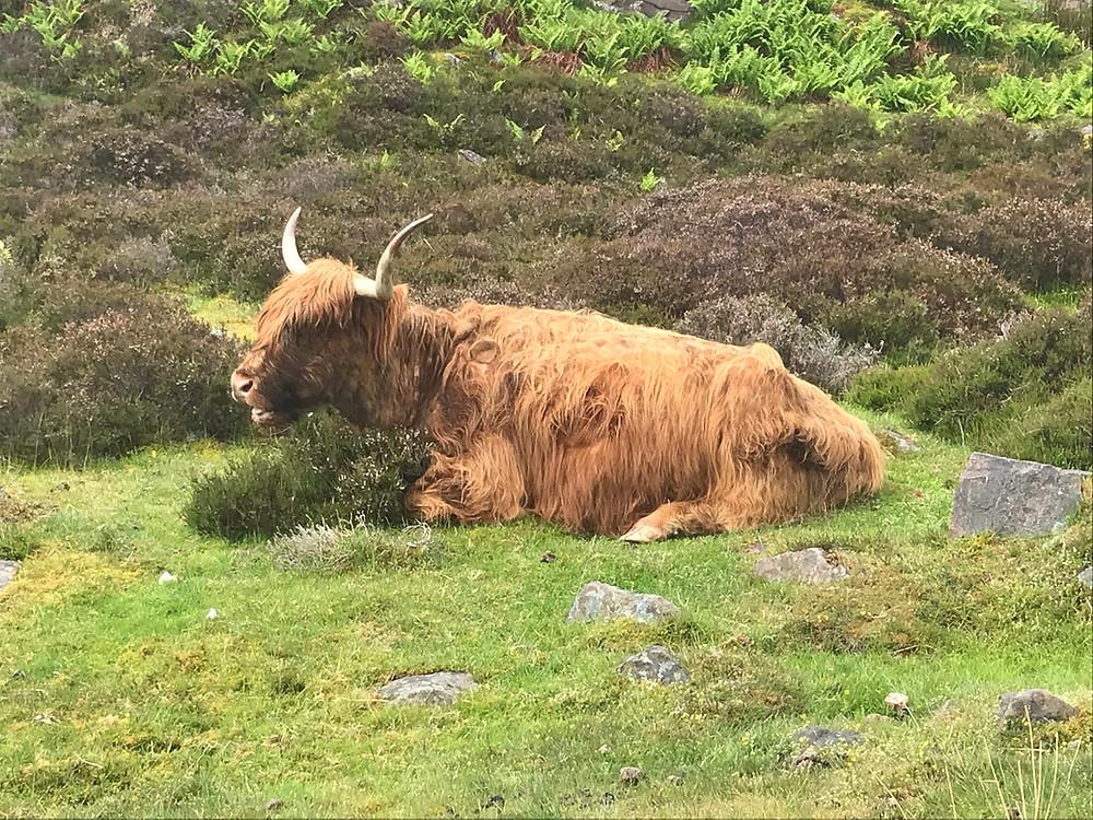 Highland cow