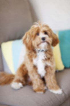 Indoor Portrait of a Brown and White pet