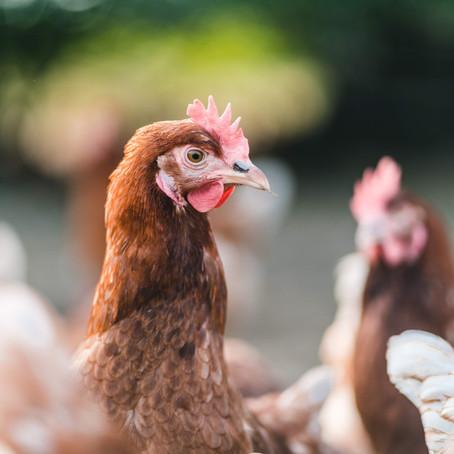 Wer den Hahn nicht ehrt, ist der Henne nicht wert