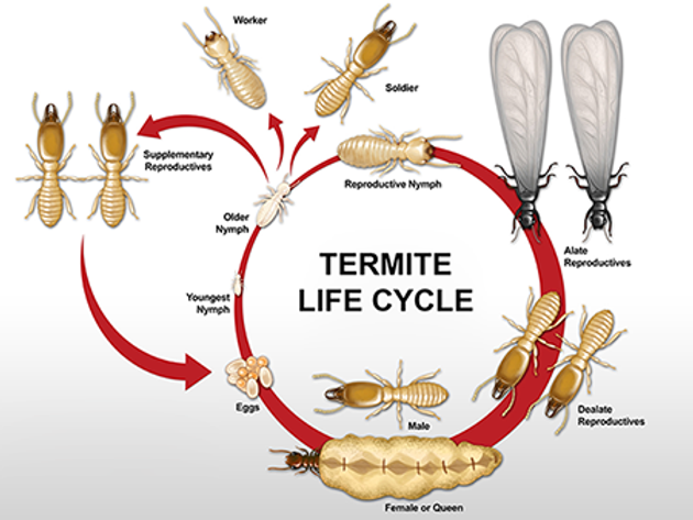 TermiteLifeCycle.png