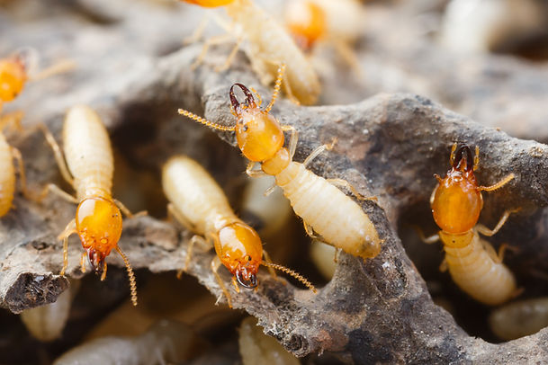 Close up termites or white ants destroye