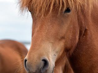 Icelandic horses 2