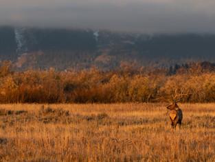 Bull Elk 2