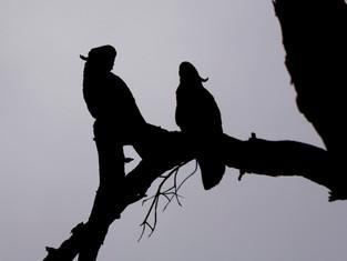Cockatoo silhouette
