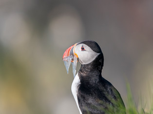 Portrait of a Puffin 2