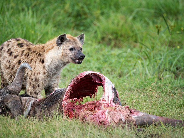Spotted Hyena 2