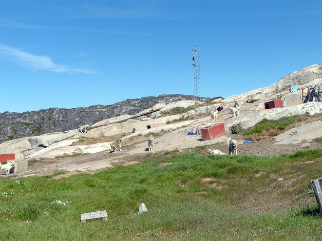 Greenlandic Sled dogs 4