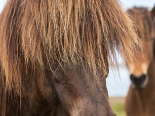 Icelandic horses 3
