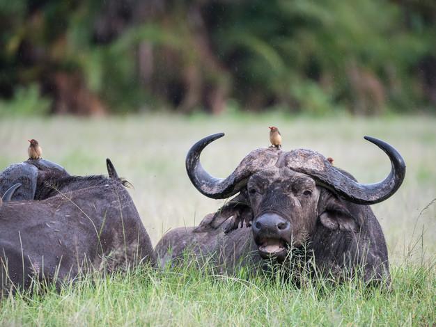 Cape Buffalo 1