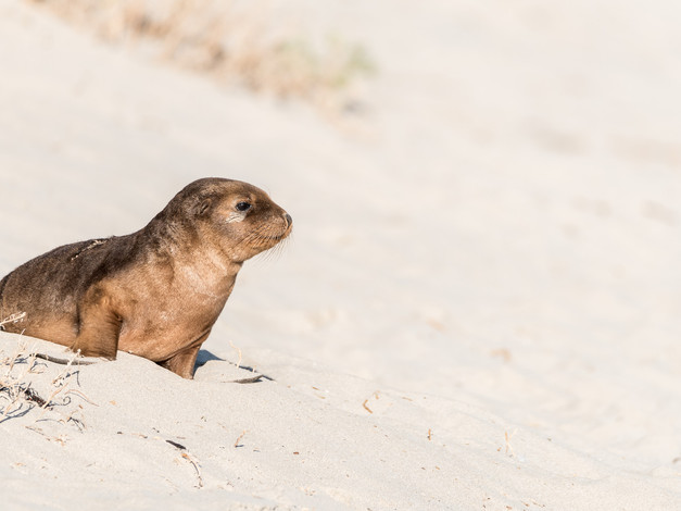 Australian Sea Lion Pup 2
