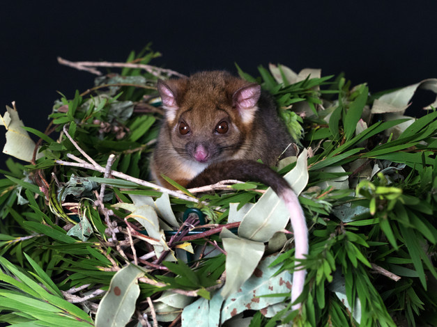 Ring tailed possum