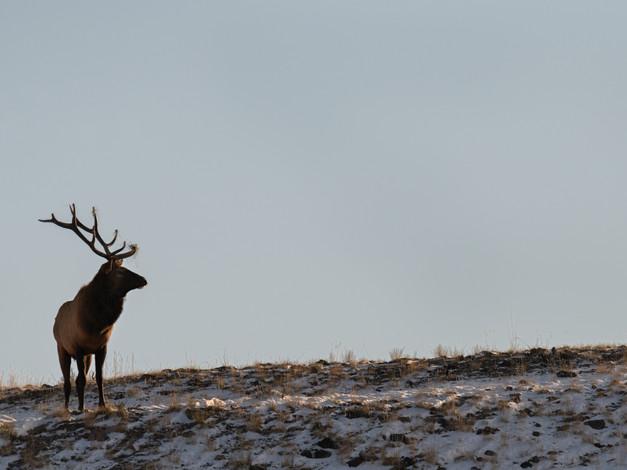 Bull Elk 3