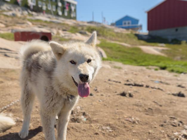 Greenlandic Sled dogs 2