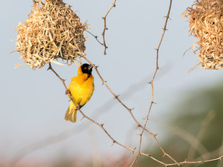 Wever Bird