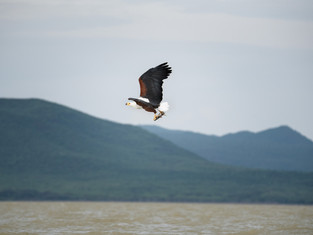 African Fish Eagle 3