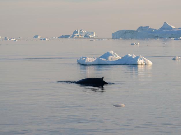 Humpback Whale 2 - Illulissat Ice Fjord