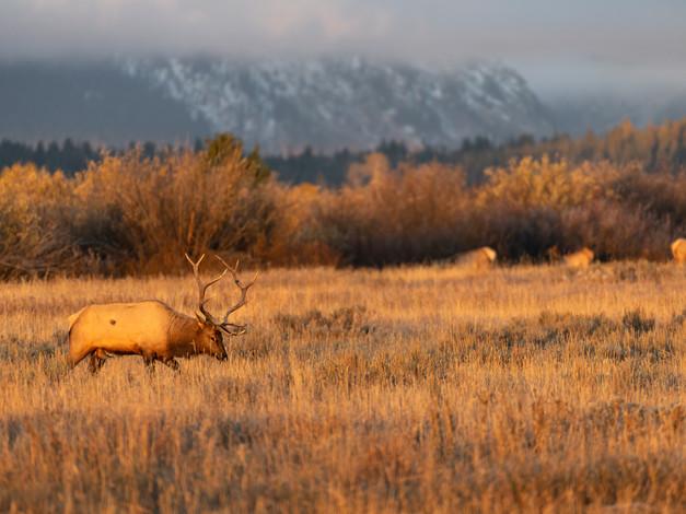Bull Elk 4