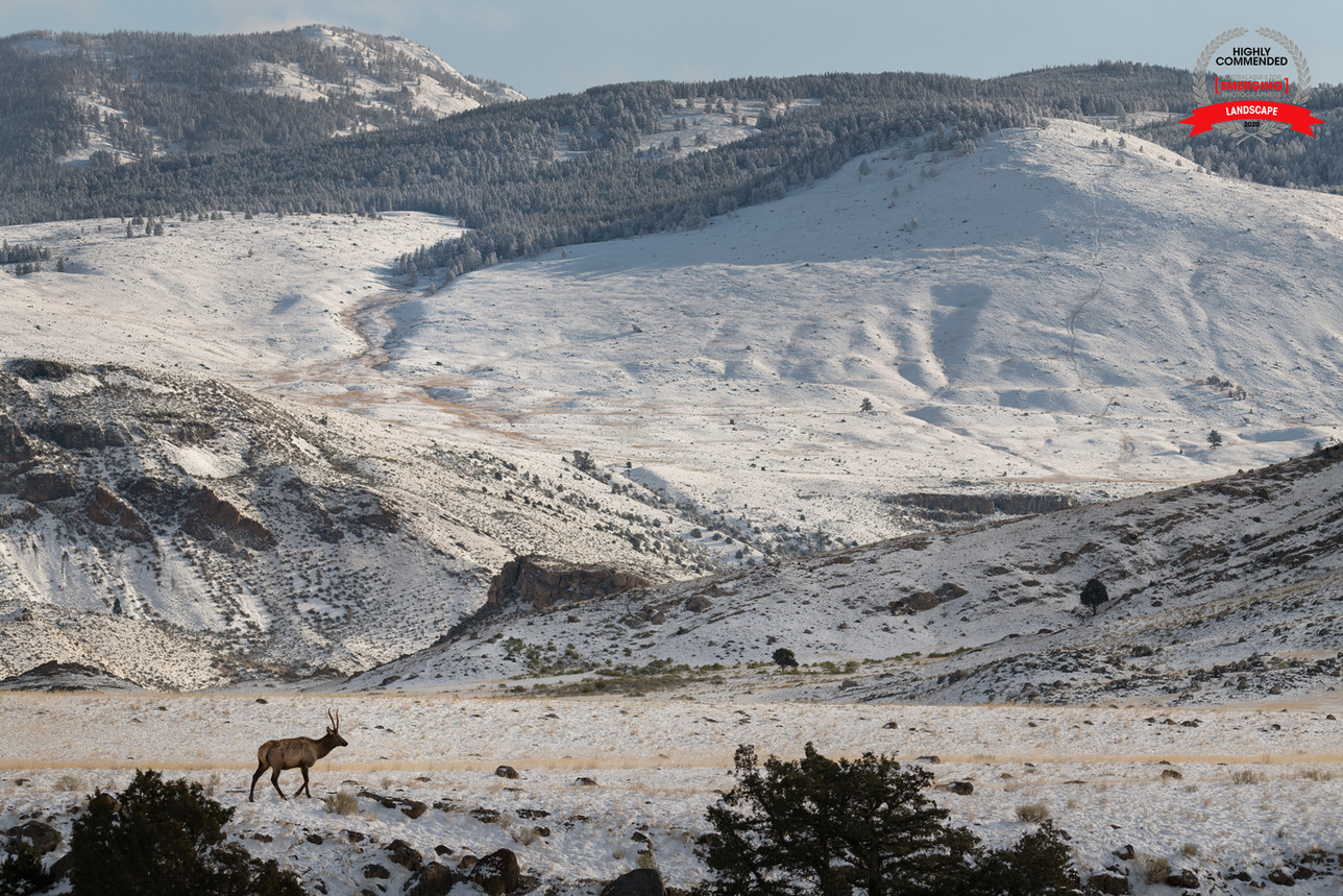 A Bull Elk's Life