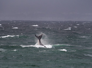 Southern Right Whales 2