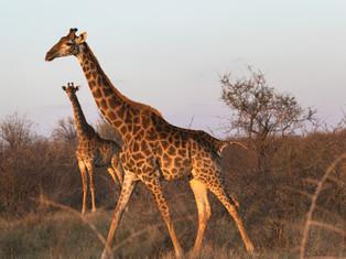 Giraffe in Golden Hour