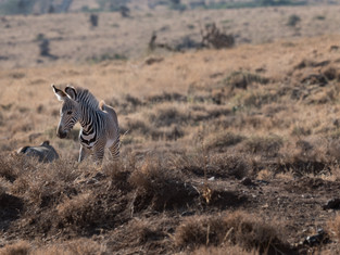 Grevys Zebra foal 2