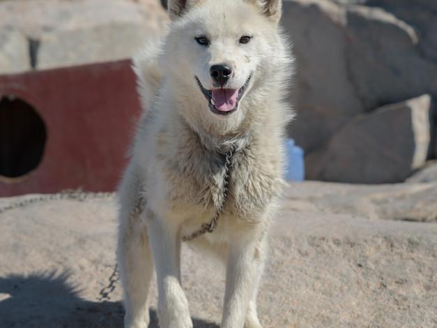 Greenlandic Sled dogs 3