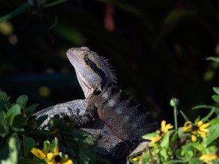 Portrait of a Water Dragon