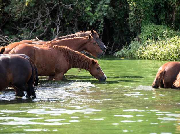 Wild Horses of Tanna Island