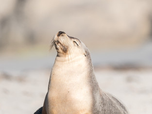 Australian Sea Lions 2