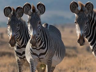 A Dazzle of Grevys Zebra