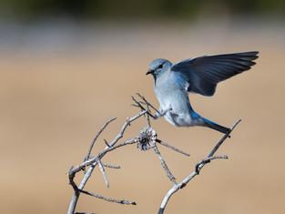 Beautiful Bluebird 3
