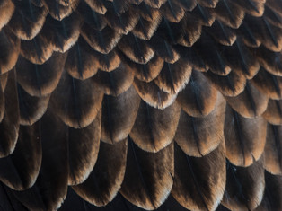 Wedge tailed eagle detail