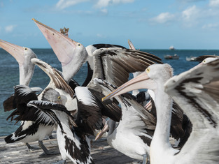 Pelicans at Lunch time