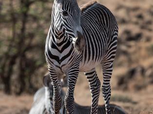 Grevys Zebra foal