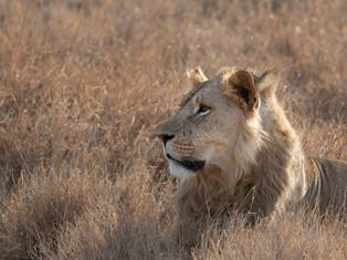 Juvenile Lion 2