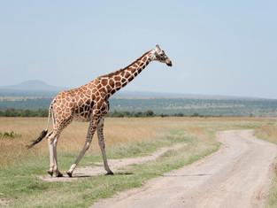 Masai Giraffe 2