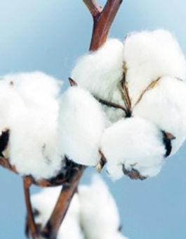 sweet_cotton.jpg