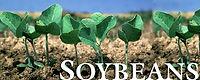 soybeanplant.jpg