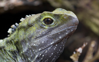 Lizard head close up from the side