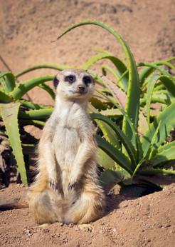 Meerkat sitting up