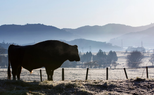 Bull on a frosty morning