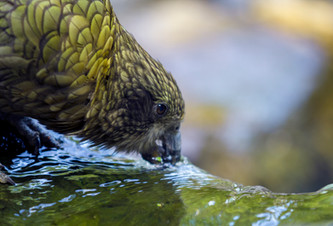 Kea drinking from a stream