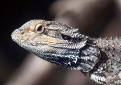 Lizard head up close