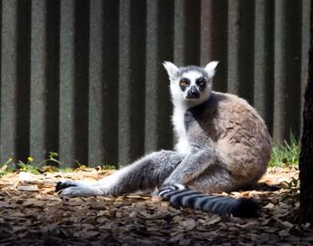 Lemur sitting